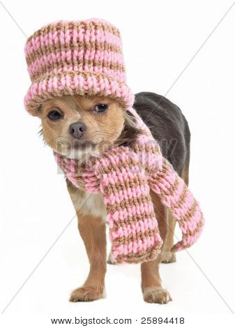 Chihuahua funnily dressed for cold weather, Isolated