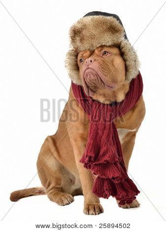 Puppy with fur cap with ear flaps and a scarf