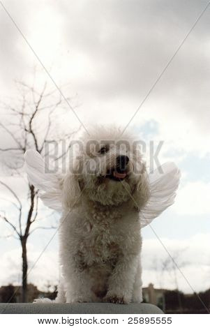 Beau a Bichon Frise streches his wings while standing upon a rock and thinks about how glad he isnt a cat