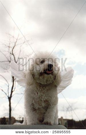 Beau eine Bichon Frise erstreckt sich seine Flügel stehen auf einem Felsen und denkt, wie froh er isnt