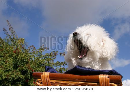 Fifi the Bichon Frise yawns while in a wooden basket covered with dark blue silk material with a blue sky and white fluffy clouds in the background