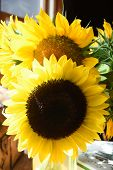 Great Cut Yellow Blooming Sunflowers In Bloom. poster