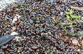 Black Sea Shells, The Green Ooze Of The Sea, Small Shells And Marine Algae poster