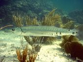 pic of coral reefs  - Great Barracuda in front of soft corals Florida Keys - JPG