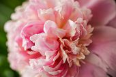 Blurred Pink Peony Petals Closely In Soft Light. Blossoming Peony Macro For Prints, Posters, Design, poster