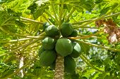 foto of pawpaw  - Carica papaya pawpaw tree classical tropical fruit - JPG
