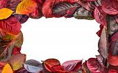 Bright Colorful Frame  Of Aronia Melanocarpa (chokeberry) Autumn Leaves Close Up On White Background poster