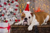 Dog Breed English Bulldog Under The Christmas New Year Tree Sitting On Basket Close To Presents Happ poster