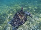Sea Turtle And Remora Sucker Fish Photo. Marine Green Sea Turtle Closeup. Wildlife Of Tropical Coral poster