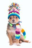 Chihuahua Puppy Dressed With Scarf and Hat, Isolated On White Background