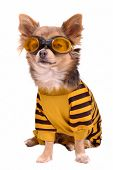 picture of dog clothes  - Small chihuahua dog wearing suit and goggles isolated on white background - JPG