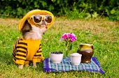 stock photo of chiwawa  - Chihuahua picnic in summer garden - JPG