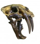 picture of saber-toothed  - cropped on a white background skull of a Real Saber Tooth Tiger!