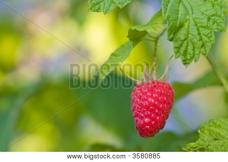 Single Ripe Raspberry On A Bush