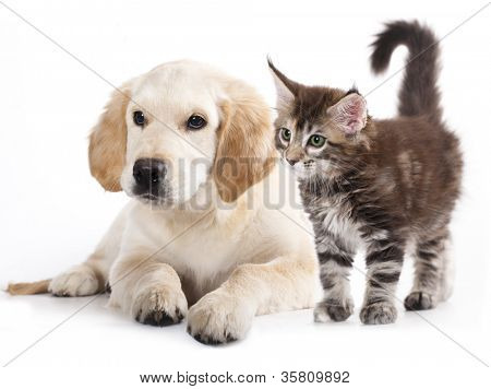 Labrador puppy and kitten breeds Maine Coon, Cat and dog