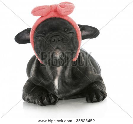 cute female puppy - french bulldog puppy wearing pink head band making silly face - 8 weeks old