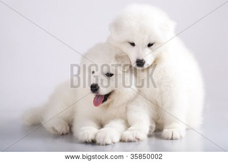 Dos graciosos cachorros de perro Samoyedo (o Bjelkier), con la lengua
