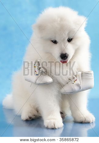 puppy of Samoyed dog and shoes