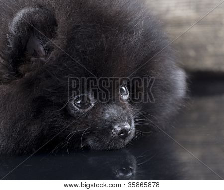little black Pomeranian spitz puppy on a gray background