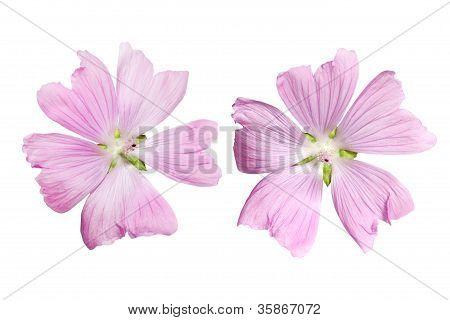 Flor de malva musk