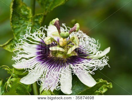 Purple Passion Flower.