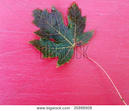 Maple leaf on pink background