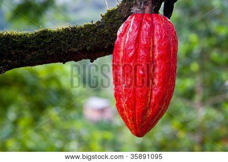 Cocoa Pod Red