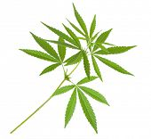 picture of rasta  - Cannabis plant - JPG