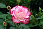 picture of pink rose  - perfect rose - JPG