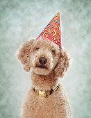 image of parti poodle  - royal poodle wearing a nice party hat - JPG