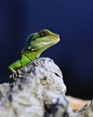 pic of godzilla  - green iguana - JPG