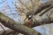 foto of gullible  - Curious Male Great Spotted Woodpecker in Udelny park St - JPG