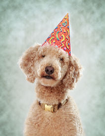 pic of parti poodle  - royal poodle wearing a nice party hat - JPG