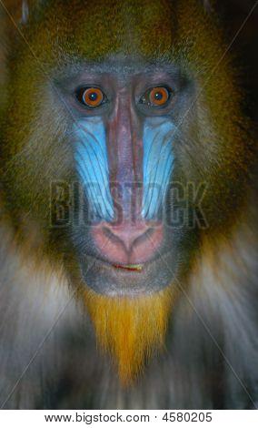 Pavian Gesicht