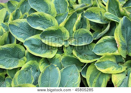 Bright background of hosta leaves
