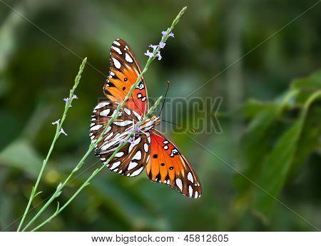 Gulf Fritillary butterfly (Agraulis vanillae) underside view