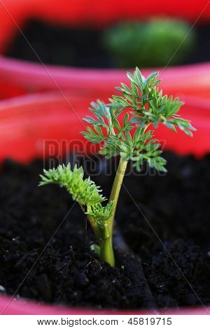 Carrot plant