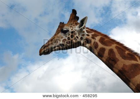 Giraffe Side View 2