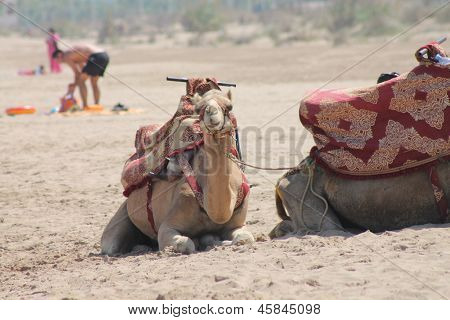 camels in Saidia