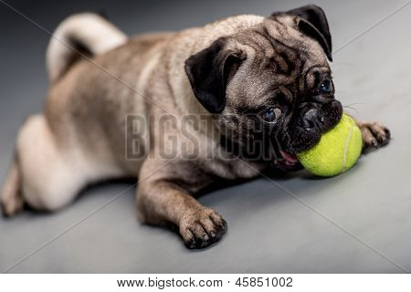 Cute dog lying on the floor playing with a ball