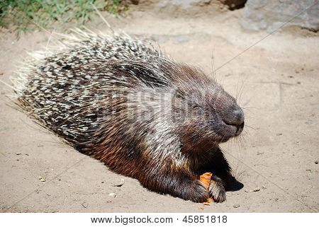 Hystrix With Carrot