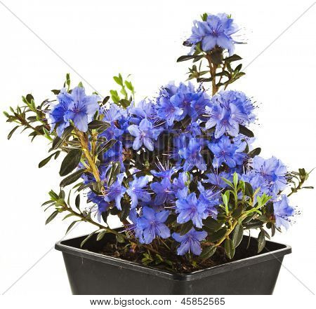 Blooming Rhododendron (Azalea) in black plastic pot box on a white background