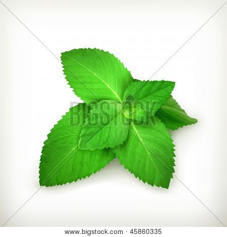 Hojas de menta fresca, vector illustration