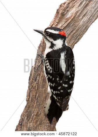 Suspicious Woodpecker