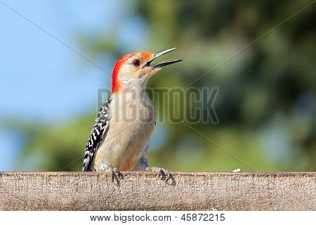 Kilroy The Woodpecker