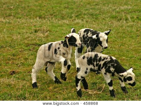 Group Of Small Lambs