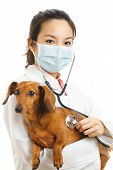 Asian veterinarian with dachshund dog