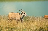 foto of eland  - Common Eland going for a stroll on a nice day - JPG