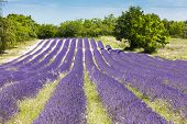 stock photo of souse  - lavender field near Salles - JPG