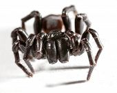 stock photo of venomous animals  - a funnel web spider on white background - JPG
